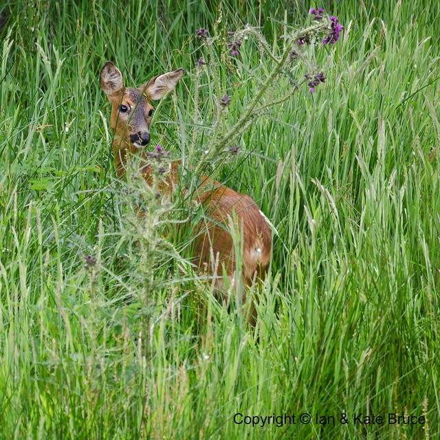 A Graceful Pose from the Roe Deer Doe