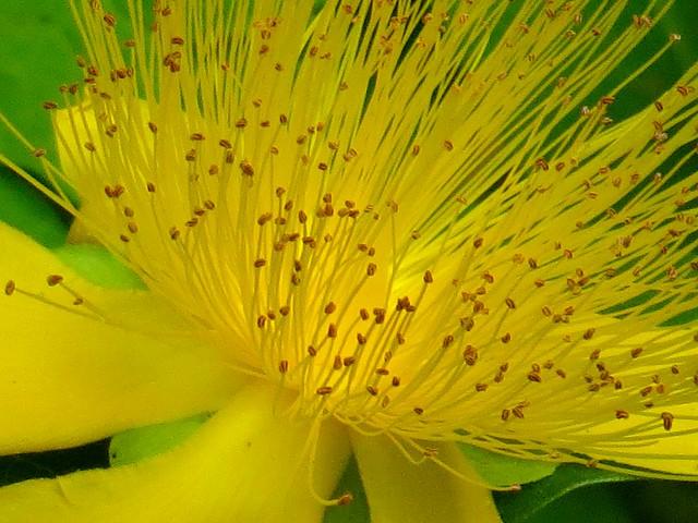 St John's Wort Flower Up Close