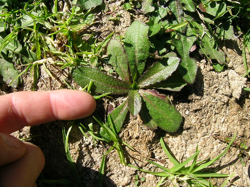 Hypochaeris radicata plant NC8