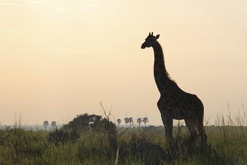life africa morning travel summer sun sunlight love nature beautiful grass animals silhouette canon neck landscape mammal outdoors photography safari giraffe uganda
