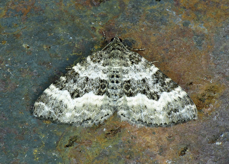 1738 Common Carpet - Epirrhoe alternata