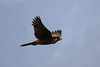 Lanner Falcon by mgrimm82