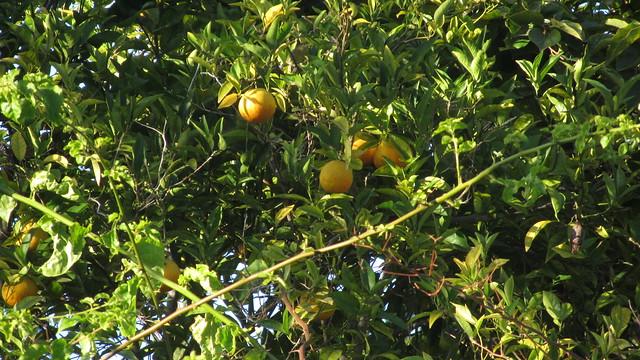 IMG_4870 yellow warbler in orange tree