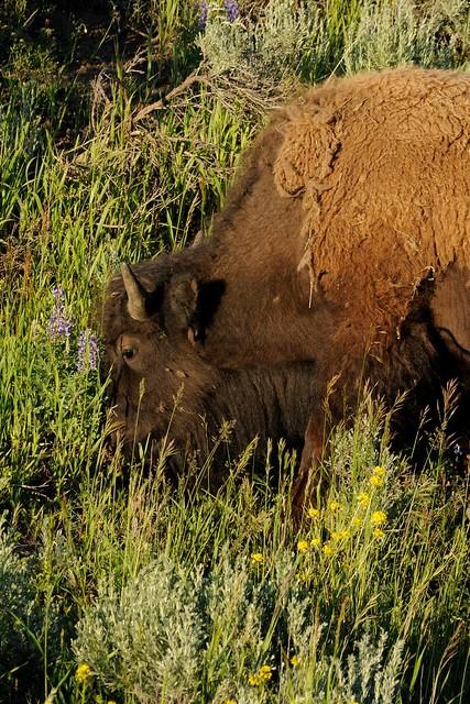 20140701 Bison
