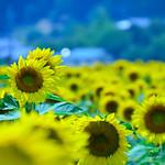 Sunflower field(ひまわり畑)