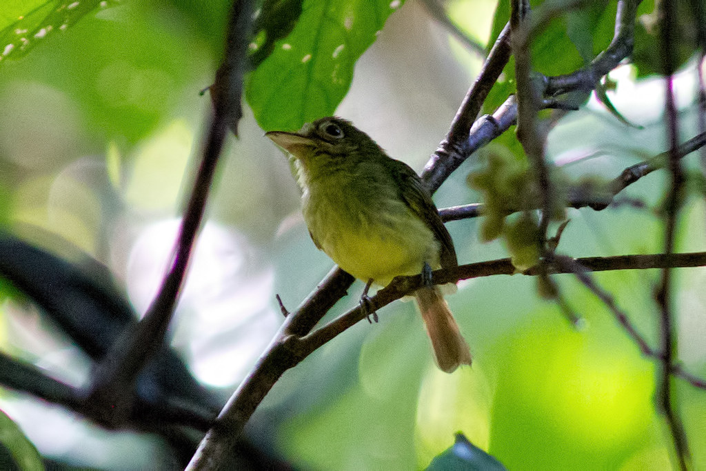 Olivaceous Flatbill 14905 Rhynchocyclus olivaceus