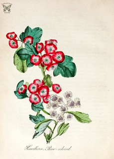 Rose-colored Hawthorn. Crataegus laevigata.  The American flora vol. 3 (1855)-2 | by Swallowtail Garden Seeds