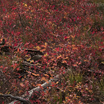 Huckleberry fall colors