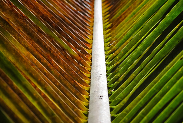 Ants on a palm leaf, Mexico