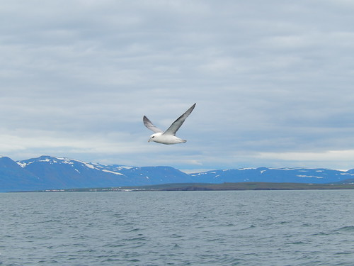 IJsland - Dalvik - whale watching - 2