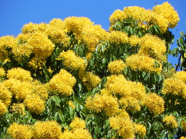 Storckiella pancheri ssp. acuta