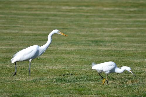Great Egret.Snowy Egret