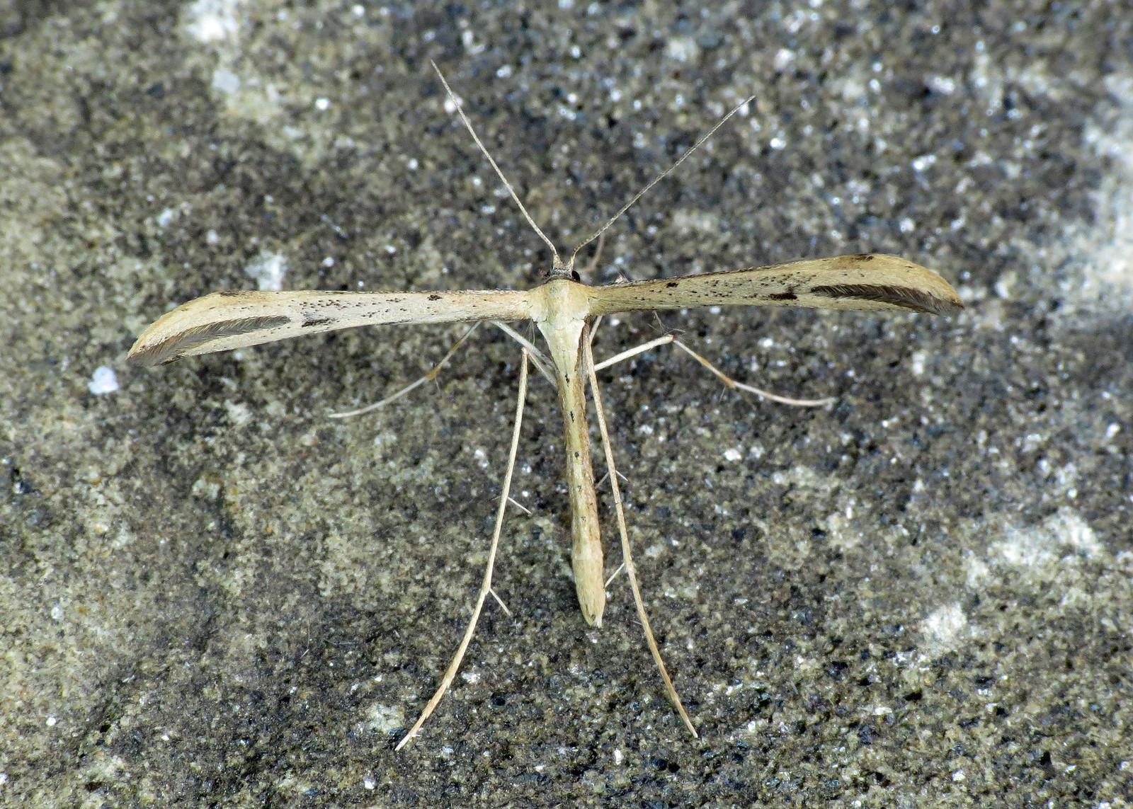 1524 Emmelina monodactyla