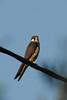 Falco Eleonorae/Faucon d'Eléonore/Eleonora's Falcon by Nabok