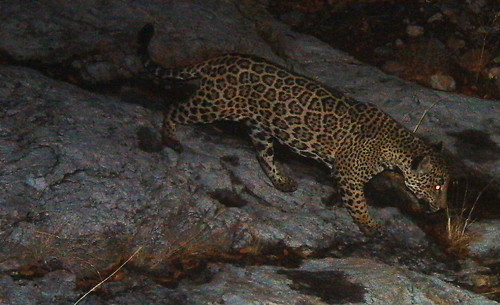 Male Jaguar–Photo Courtesy of UA/USFWS | by U.S. Fish & Wildlife Service Southwest Region