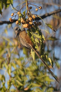Speckled mousebird, Colius striatus | by Jaime Chang
