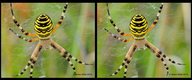 Female Wasp Spider - 3d crossview