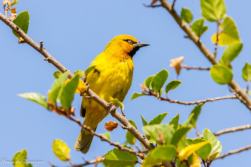 Spectacled weaver (male)