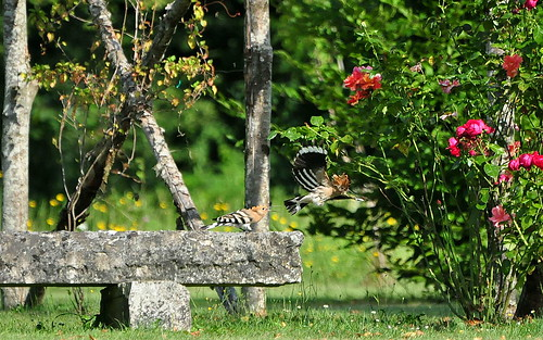 Hoopoes in a French garden | by rogersanderson