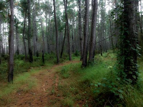 trees pine forest woods alabama trail baldwincounty ilobsterit
