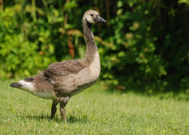 Canada Goose Gosling (DSC_6556)