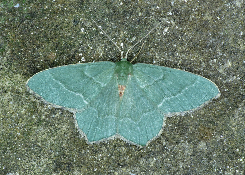 1669 Common Emerald - Hemithea aestivaria