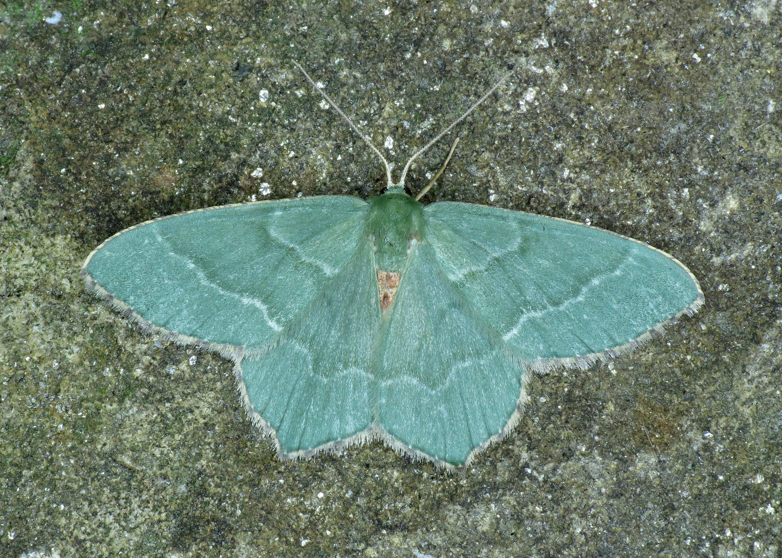 1669 Common Emerald - Hemithea aestivaria