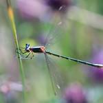 Emerald Damsel Fly