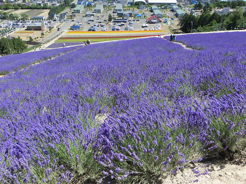 flowers summer hokkaido lavender furano skislope nakafurano lavenderpark