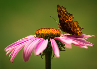 Echinacea Purpurea and the Butterfly // 28 07 14 | by Manadh