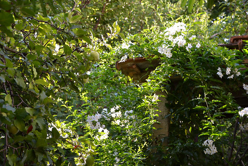 Solanum jasminoides - faux-jasmin 14731385608_9ea4574ffc
