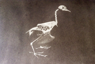 Gum print of chicken skeleton | by DoctorNelson