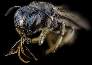 bee ceratina monster, f, ukraine, angle_2014-08-09-12.21.55 ZS PMax | by Sam Droege