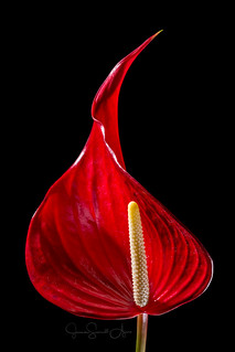 Anthurium | by TheDigitalJeanie