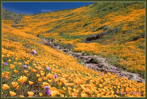 californiapoppy eschscholziacalifornica orange poppy wildflower wildflowers lakeelsinore california unitedstates us canontse45mmf28 tiltshift