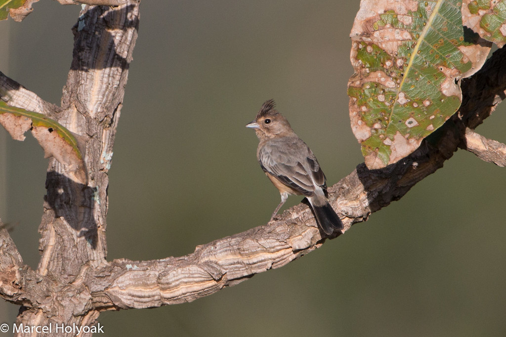 Coal-crested Finch (Charitospiza eucosma), Chapada dos Guimaraes, BR, 2014-04-09--102
