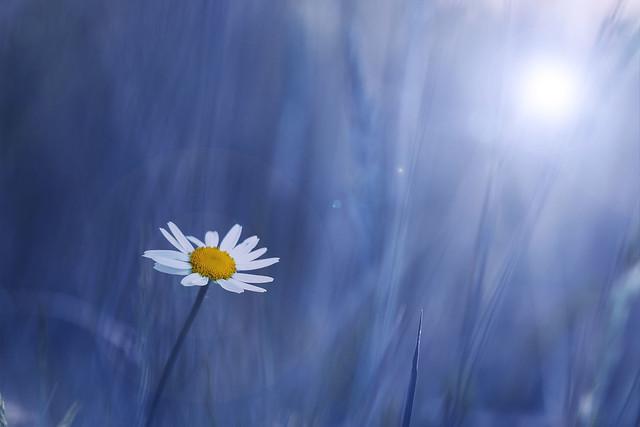 Blue-dream-daisy