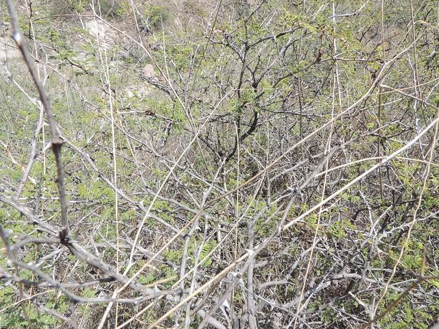 Oxybelis aeneus (Vine Snake)