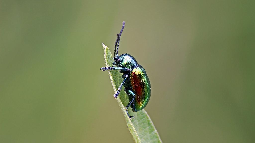 Chrysochus auratus dogbane leaf beetle