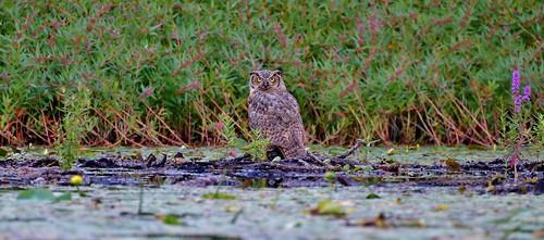 lake ny newyork bird yellow eyes kayak kill purple upstate owl upstatenewyork catch prey predator lilypad muskrat birdofprey greathornedowl purpleloosestrife grennan reichardslake rwgrennan ryangrennan