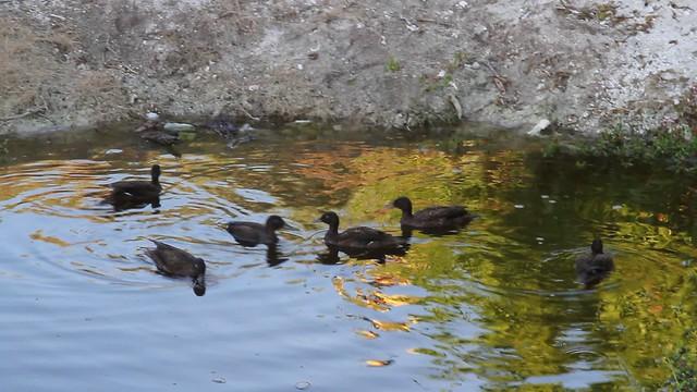 Video:Laysan Ducks Enjoy New Home on Kure Atoll
