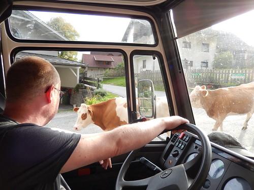 Reisach - koeien op de weg
