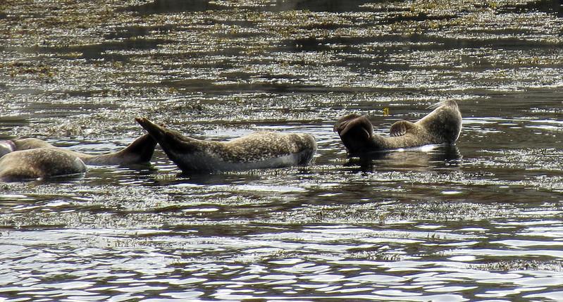 Harbour Seals