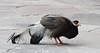 Brown Eared Pheasant by Thomas.Gut