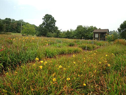 flower virginia farm va daylily gps geotag sonygpscs3ka thumpersdaylilyfarm