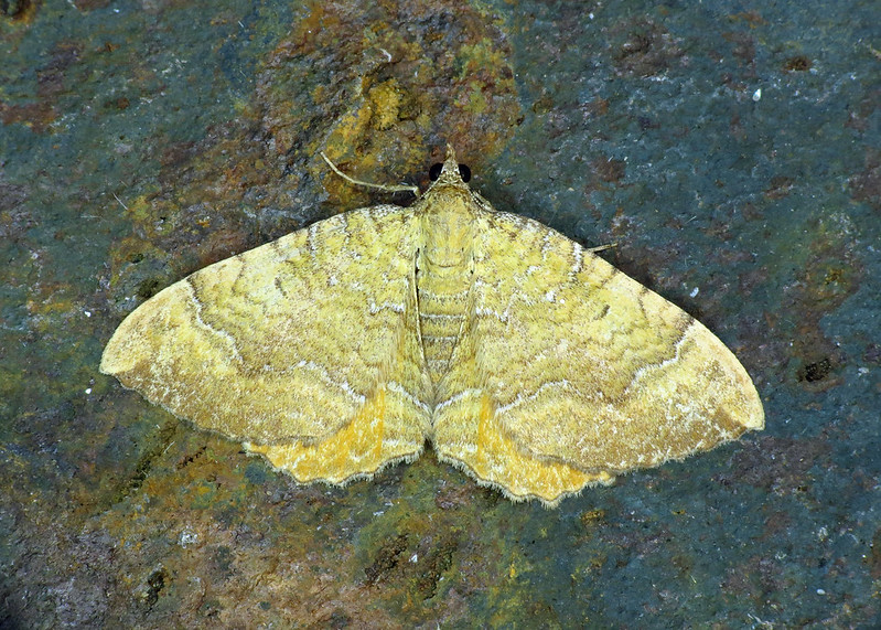 1742 Yellow Shell - Camptogramma bilineata
