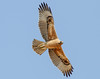 Bonelli's Eagle (youngster) by Cyprus Bird Watching Tours - BIRD is the WORD