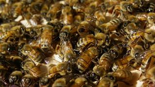 Bees, September '14   by Shutterbug 11