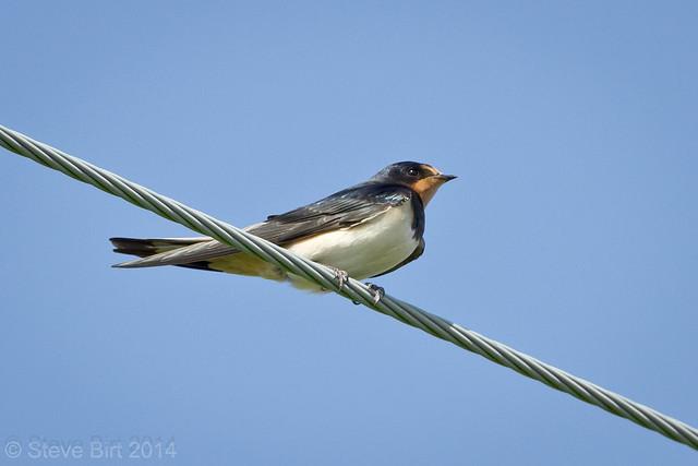 Swallow 003