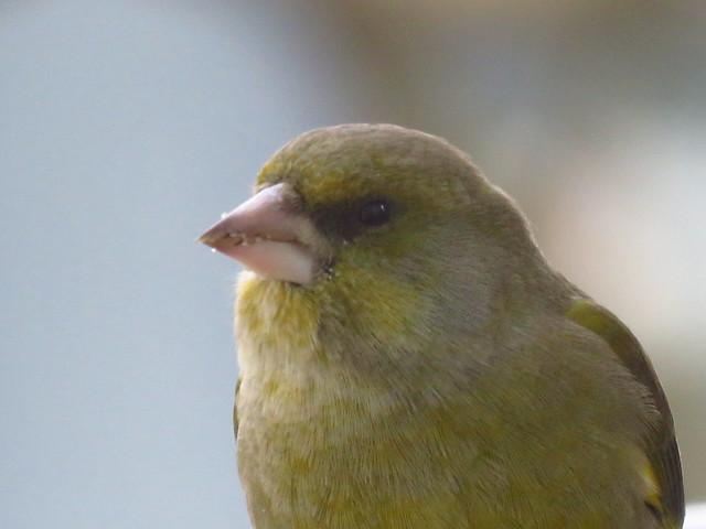 Greenfinch close up through window// Grünfink Nahaufnahme durch Scheibe